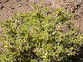 Artemisia spinescens (3765115591).jpg