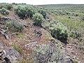 Artemisia tridentata wyomingensis (3702721007).jpg