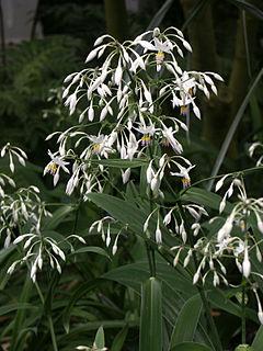 <i>Arthropodium</i> genus of plants