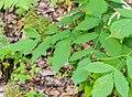 Aruncus dioicus in Morzine (5).jpg