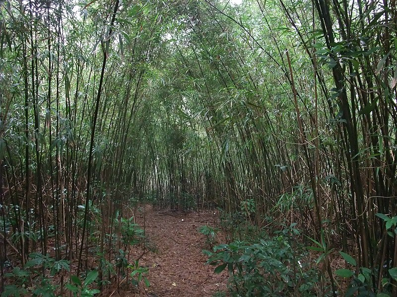 File:Arundinaria shiuyingiana 1.jpg