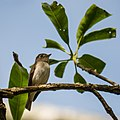 Asian Brown Flycatcher (27815055401).jpg