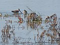 Asian Dowitcher (19401127763).jpg