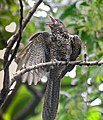 Asian Koel- Immature asking for food from House Crow I IMG 5786.jpg