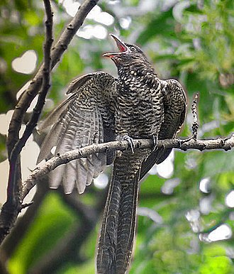 Asian koel - Immature female (nominate race) begging for food.