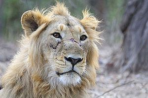 English: Male Asiatic Lion spotted at the Gir ...