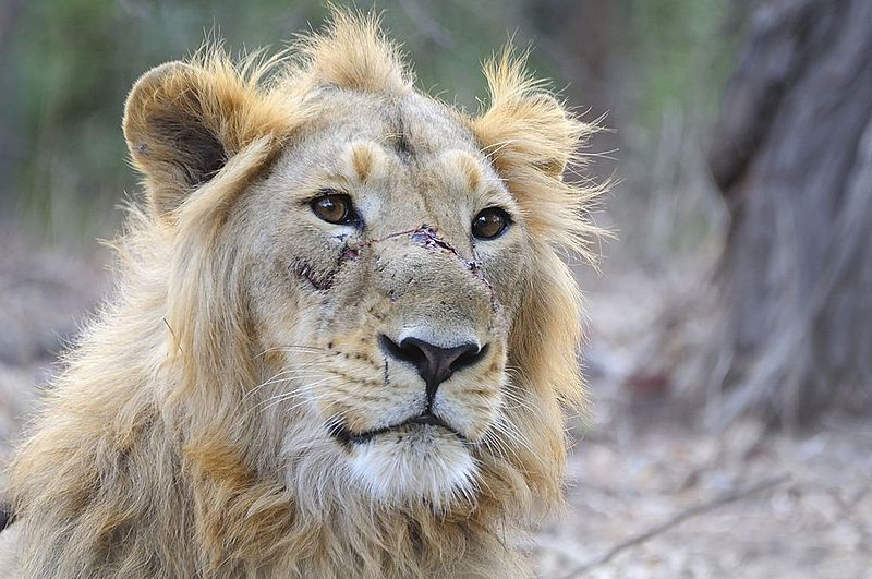 ચિત્ર:Asiatic Lion Male.jpg