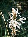 Asphodelus macrocarpus 001.jpg
