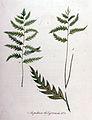 Aspidium thelypteris — Flora Batava — Volume v11.jpg