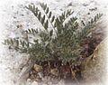 Astragalus molybdenus.jpg
