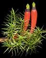 Astroloma foliosum - Flickr - Kevin Thiele.jpg