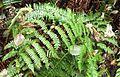 Athyrium filix-femina (lady fern ) - Flickr - brewbooks.jpg