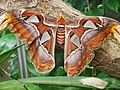 Attacus atlas-botanical-garden-of-bern 17.jpg