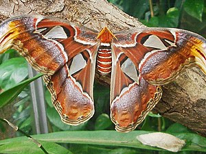 Attacus atlas butterflies and cocoons at Botan...