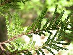 Austrocedrus chilensis - leaves - 01.JPG