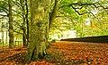 Autumn leaves near Ballymena - geograph.org.uk - 1022441.jpg