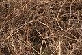 Autumnal bracken (Pteridium aquilinum), Burrafirth - geograph.org.uk - 1606538.jpg