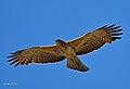 Ayres' Hawk Eagle00.jpg