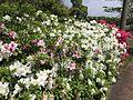 Azalea flowers near Mifunegaoka Plum Garden.jpg