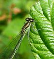 Azure Bluet. Female. Green form.Coenagrion puella. - Flickr - gailhampshire.jpg