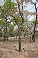 Bénin-Swartzia madagascariensis (1).jpg