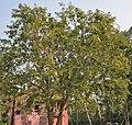 Bael (Aegle marmelos) tree at Narendrapur W IMG 4116.jpg