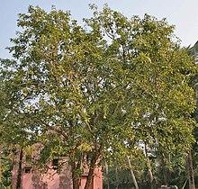 Bael Aegle Marmelos Tree At Narendrapur W Img 4116 Jpg