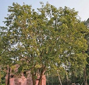 Aegle marmelos - Image: Bael (Aegle marmelos) tree at Narendrapur W IMG 4116