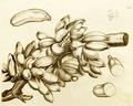 Bala 1-14 Rheede 1678.png