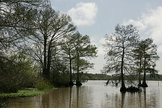 Cameron Parish, Louisiana - Image: Bald cypress Lacassine National Wildlife Refuge
