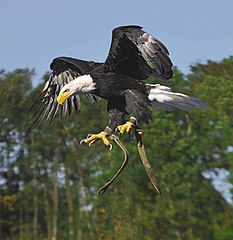 Bald eagle in a nosedive