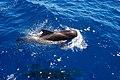 Ballenas en el Sur de Tenerife (spain) - panoramio.jpg