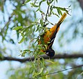 Baltimore Oriole bathing and other monkeyshines (34535389856).jpg