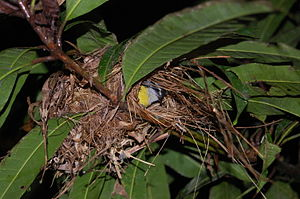 Bananaquit - Bananaquit in its nest. Osa Peninsula, Costa Rica