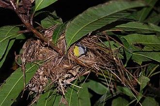 Bananaquit - Bananaquit in its nest. Osa Peninsula, Costa Rica