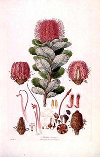 Banksia coccinea (Illustrationes Florae Novae Hollandiae plate 3).jpg