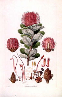 This is a scan of Plate 3 from Ferdinand Bauer's Illustrationes Florae Novae Hollandiae. The plant featured is Banksia coccinea (Scarlet Banksia).