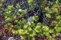 Banksia spinulosa var. cunninghamii - UC Santa Cruz Arboretum - DSC07445.JPG