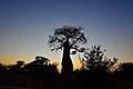 Baobab, Mapungubwe, Limpopo, South Africa (20355909268).jpg