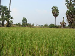 Baray rice paddies.jpg