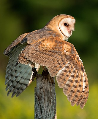 Barn owl - Barn owl, Canada, with detail of wings and tail feathers
