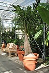 Beaucarnea recurvata (Ponytail Palm)1.jpg