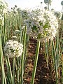 Beautiul flowers of onion.jpg