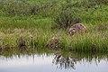 Beaver near Swan Lake (0ec56ef9-d4e9-4dd1-95c8-905ae07698b9).jpg