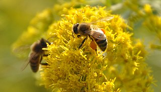 Goldenrod with honeybees. Wikimedia Commons.