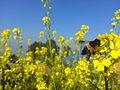 Bee on Mustard manish.jpg