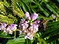 Bee on flowers, Virginia.jpg