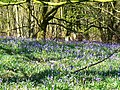 Beech trees and bluebells, Cobham Frith - geograph.org.uk - 1265811.jpg