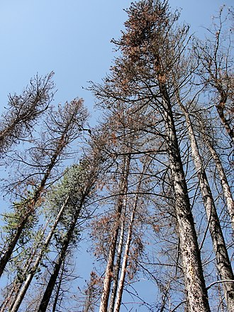 Rocky Mountain National Park - Trees killed by mountain pine beetles.
