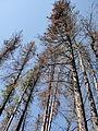 Beetle Kill Rocky Mountain National Park USA.JPG